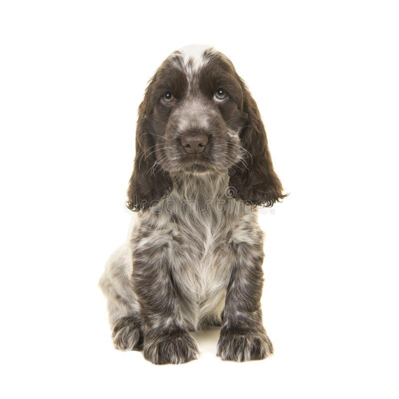 Chocolate lindo y sittin blanco del perro de perrito de cocker spaniel del inglés fotografía de archivo libre de regalías
