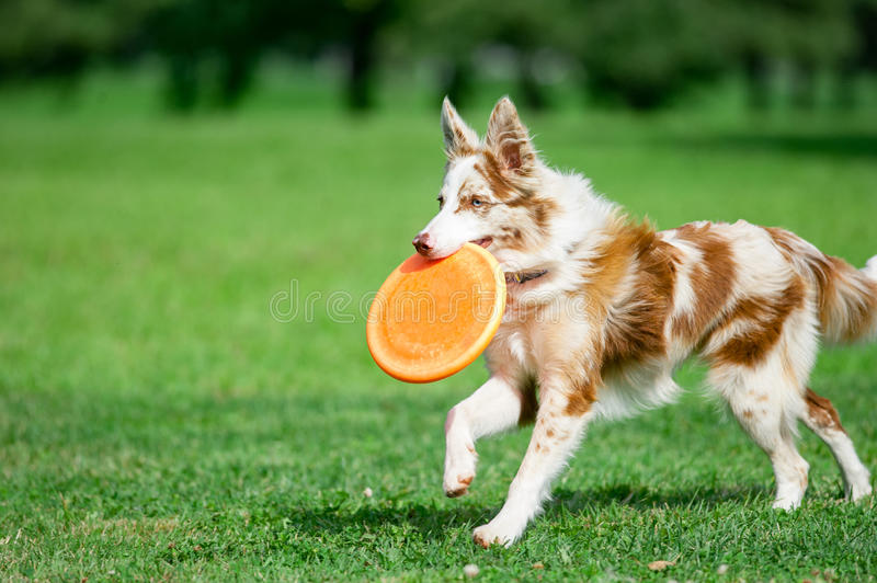 Chocolate marble border collie with orange frisby disk running i stock photo