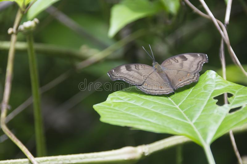 Chocolate Pansy Butterfly on the leaf of Pagoda Plant. stock images