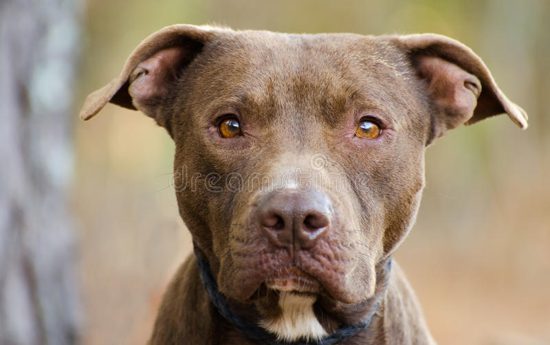 Chocolate Pit Bull Terrier stock image. Image of ...