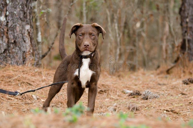 Chocolate Pitbull Terrier Puppy Dog. Outdoor pet photography, humane society animal shelter adoption photo, Walton County Animal Control royalty free stock photo