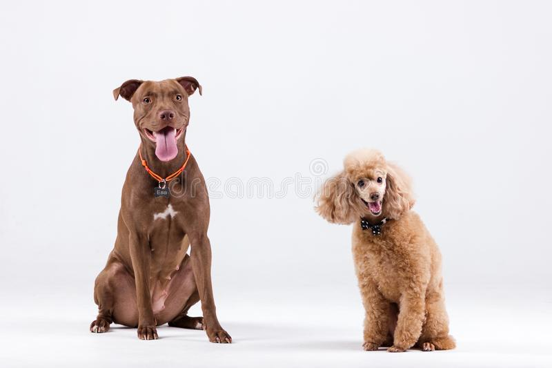 Poodle with pitbull. Chocolate pitbullterrier with red poodle indoor on white background royalty free stock photos