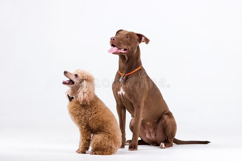 Poodle with pitbull. Chocolate pitbullterrier with red poodle indoor on white background royalty free stock image