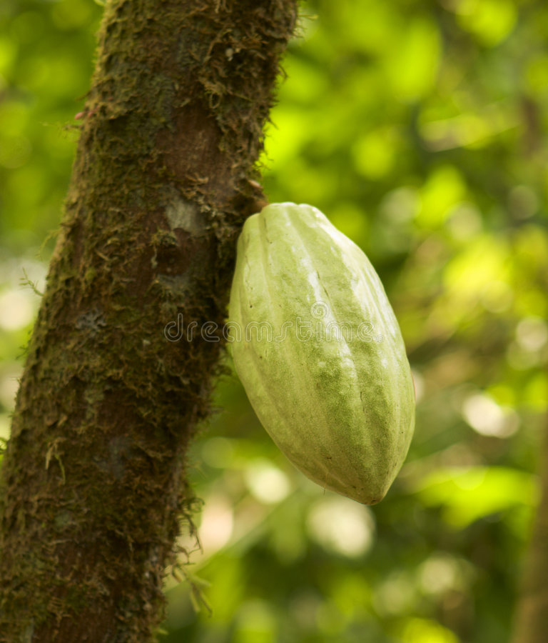 Chocolate Pod On Tree. A pod of cacao beans on a tree in a Costa Rican plantation. The beans from this pod will be turned into chocolate. This pod was about 8 stock images