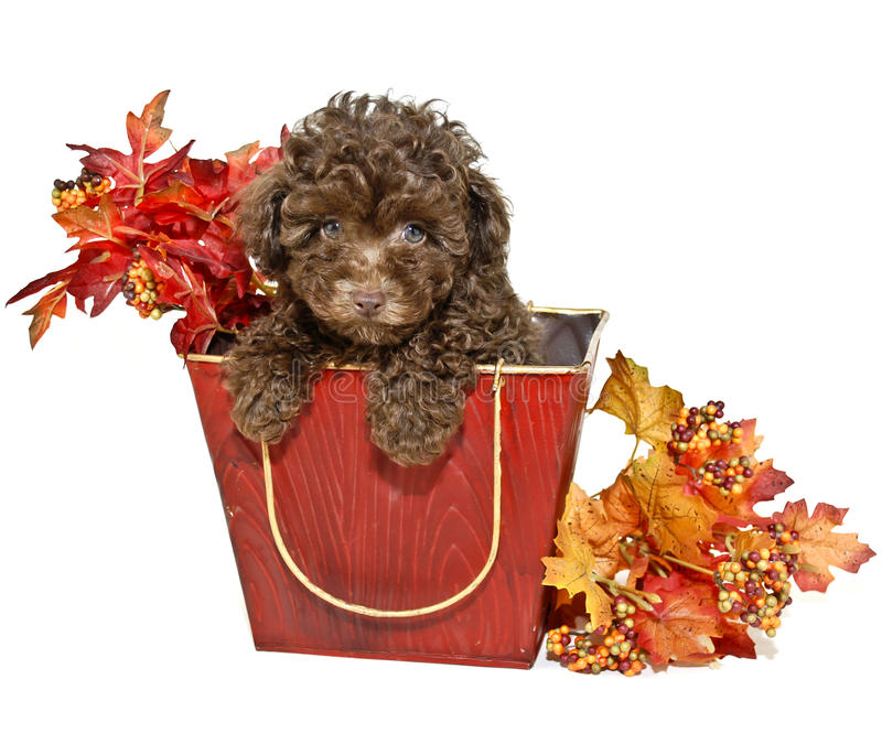 Download Chocolate Poodle Royalty Free Stock Photography - Image: 21252647