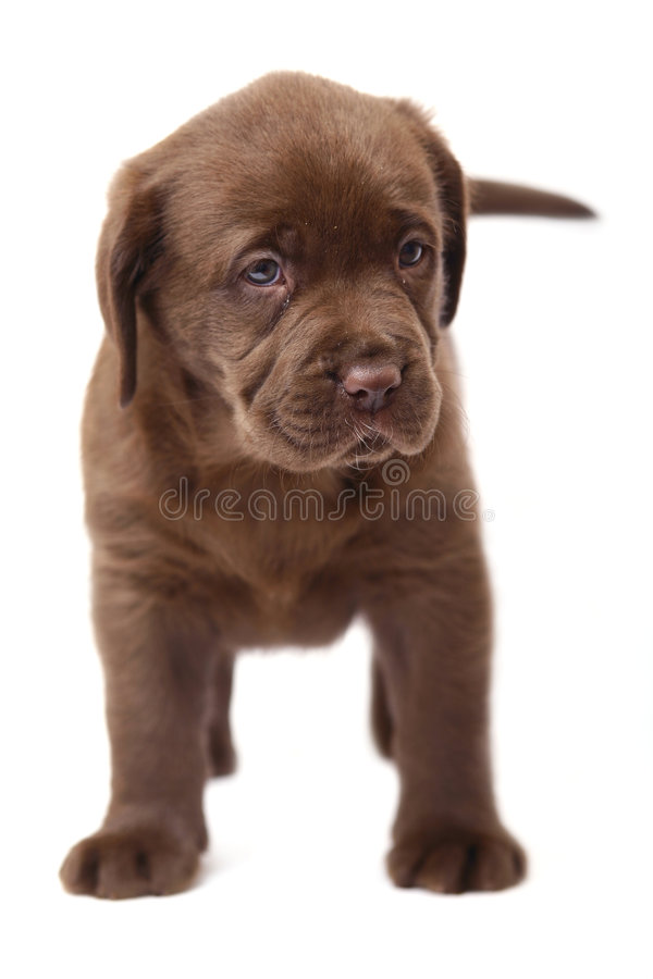 A chocolate puppy Labrador. royalty free stock photo
