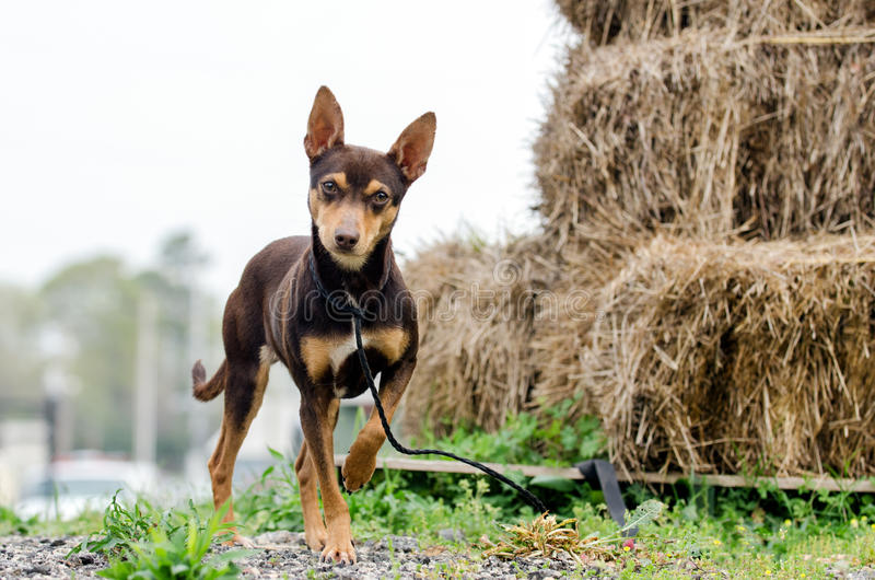 Chocolate Rat Terrier mixed breed dog adoption photo royalty free stock photo