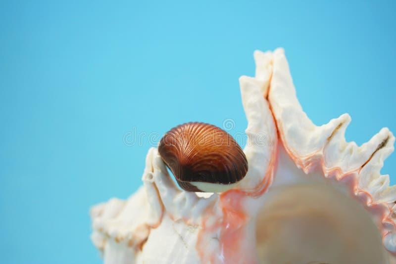 Chocolate seashell on white stock photos