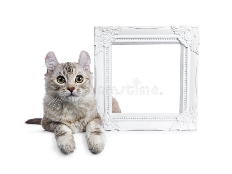 Chocolate silver tortie tabby American curl cat. / kitten laying beside a white empty photo frame isolated on white background royalty free stock images