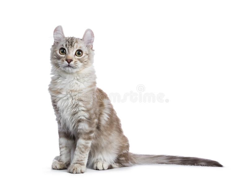 Chocolate silver tortie tabby American curl cat / kitten on white background. Chocolate silver tortie tabby American curl cat / kitten sitting side ways isolated stock photos