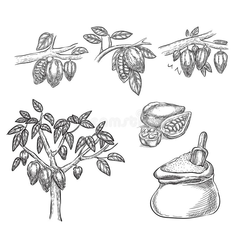Chocolate sketch vector illustration. Cocoa pod on branch, beans, tree, cacao powder hand drawn isolated design elements vector illustration