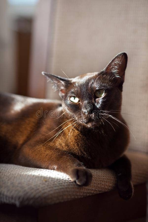 Brown young burmese cat lying and looking in camera royalty free stock image