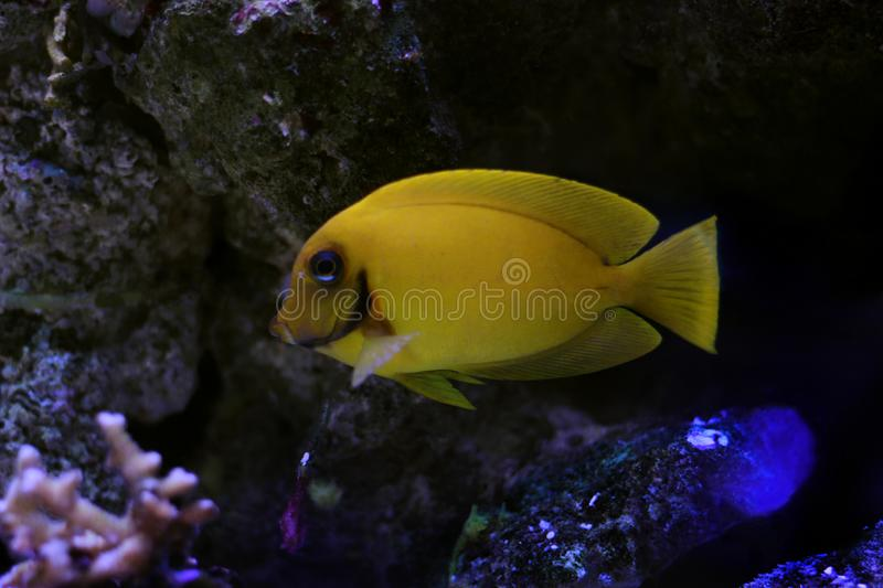 Mimic Lemon Peel Tang Acanthurus pyroferus. Chocolate Surgeonfish, has an oval, yellow body while a juvenile. It has blue highlights around the eyes and gill royalty free stock image