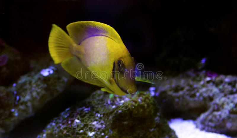 Mimic Lemon Peel Tang Acanthurus pyroferus. Chocolate Surgeonfish, has an oval, yellow body while a juvenile. It has blue highlights around the eyes and gill stock photos