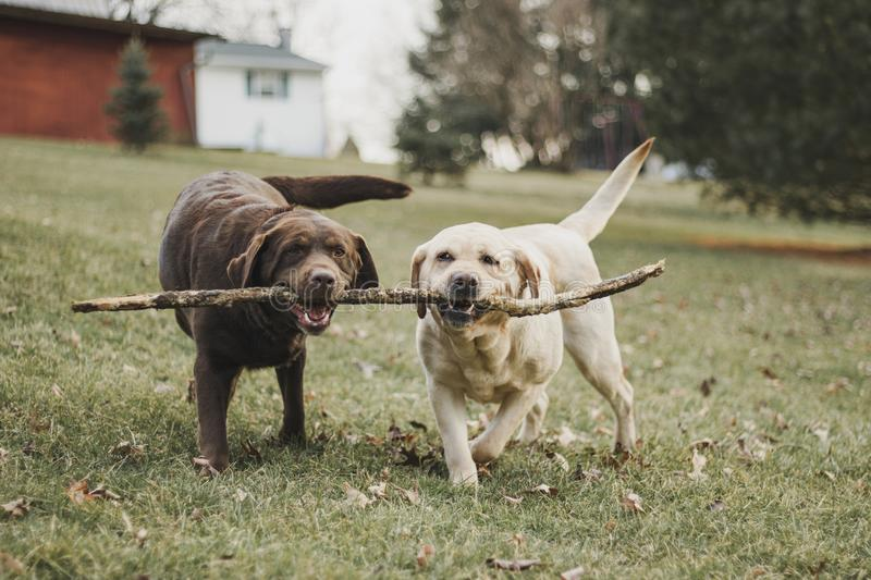 Chocolate and yellow Labrador Retriever sisters fighting for a stick stock image