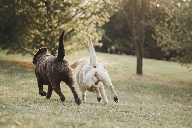 Chocolate and yellow Labrador Retriever sisters running in sync stock image