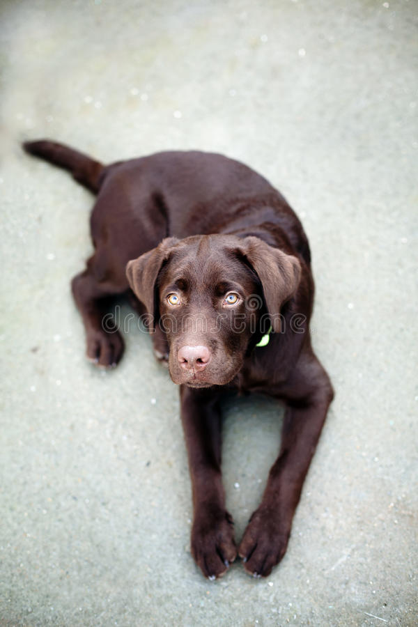 Chocolate young labrador retriever dog. On grey background stock images