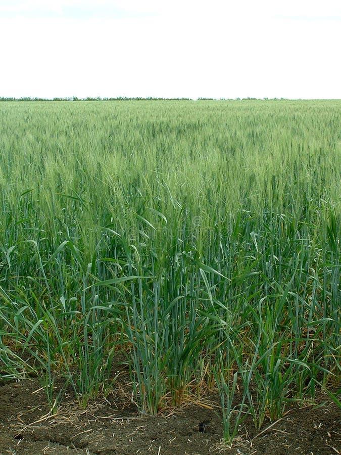 Download Chodź makaron, obraz stock. Obraz złożonej z oaxaca, roślina - 28969