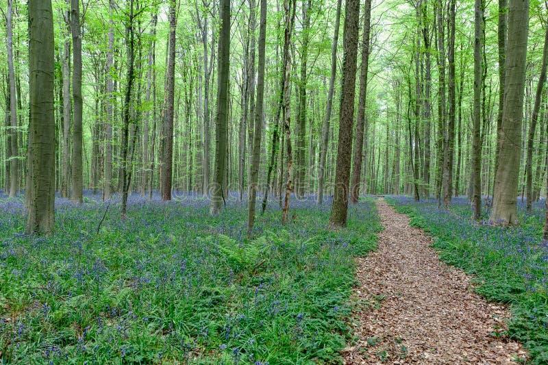 Chodząca ścieżka między bluebells i drzewami fotografia stock
