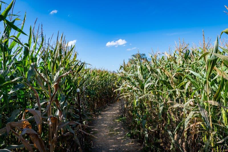 Chodząca ścieżka przez kukurydzanego pola obraz stock