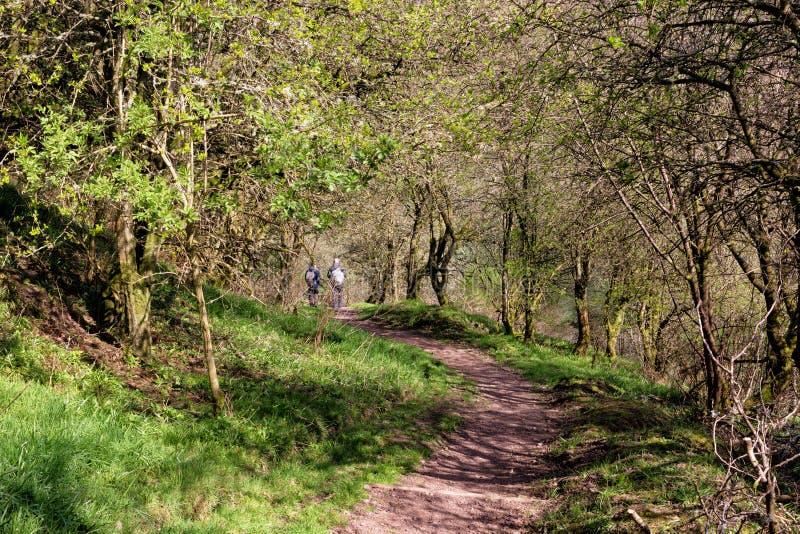 Chodząca ścieżka w lesie Nowy Lanark, Szkocja, UK Dwa turysty chodzi przy odległością fotografia stock
