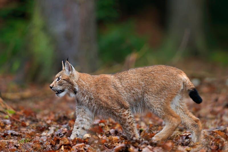 Chodzącego dzikiego kota Eurazjatycki ryś w pomarańczowych jesień liściach, las w tle fotografia royalty free