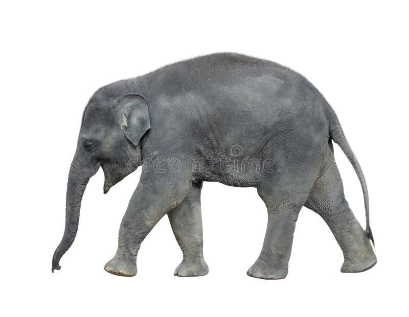 Chodzący dziecko słoń odizolowywający na białym tle Trwanie słoń folujący długości zakończenie up Żeńskiego azjata popielaty słoń obrazy royalty free