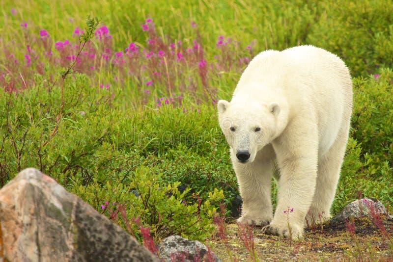 Chodzący niedźwiedź polarny zdjęcia stock