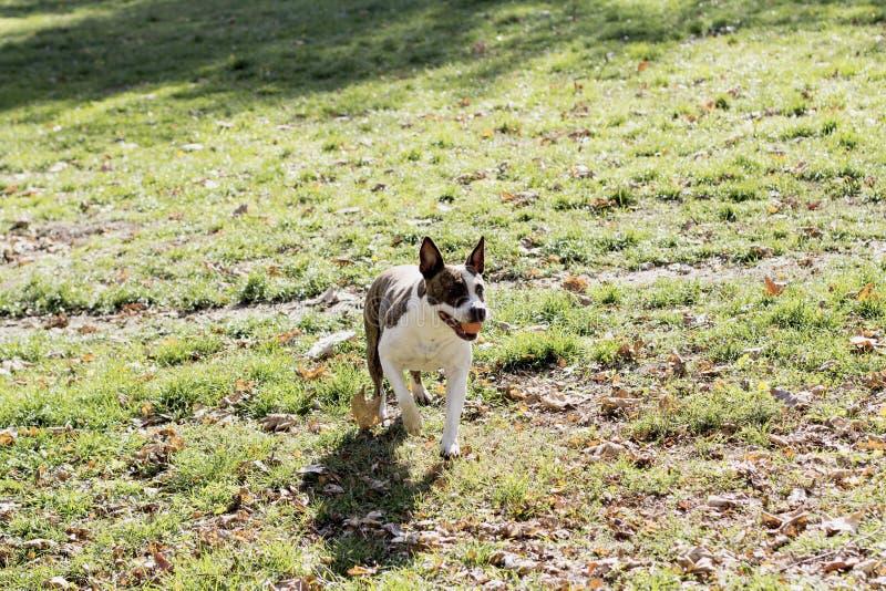 Chodzący pies w parku zdjęcie royalty free