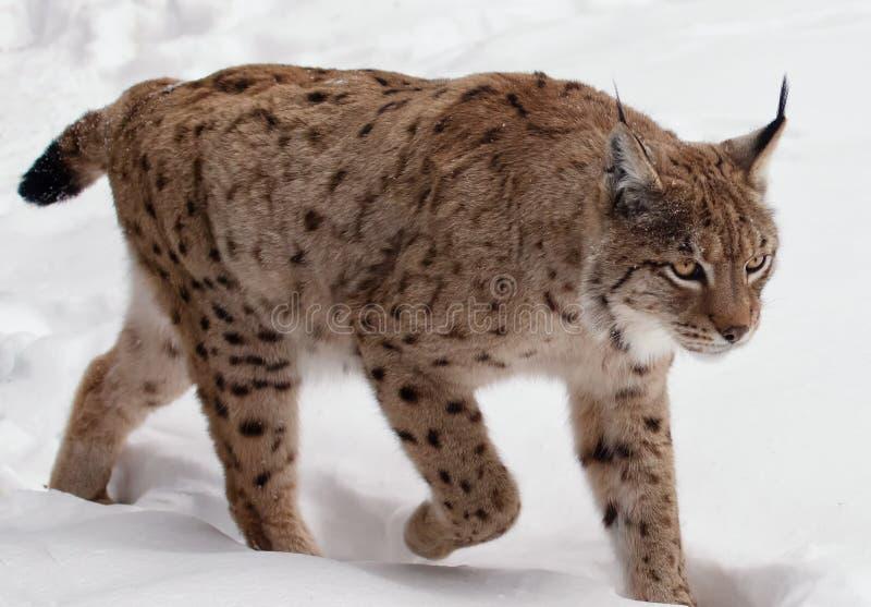 Chodzący ryś na śniegu w zimie fotografia royalty free