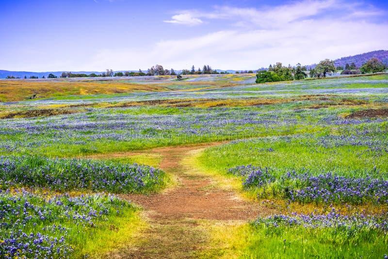 Chodz?cy ?lad przez poly zakrywaj?cych w wildflowers, p??nocy Sto?owa Ekologiczna rezerwa, Oroville, Kalifornia obraz stock