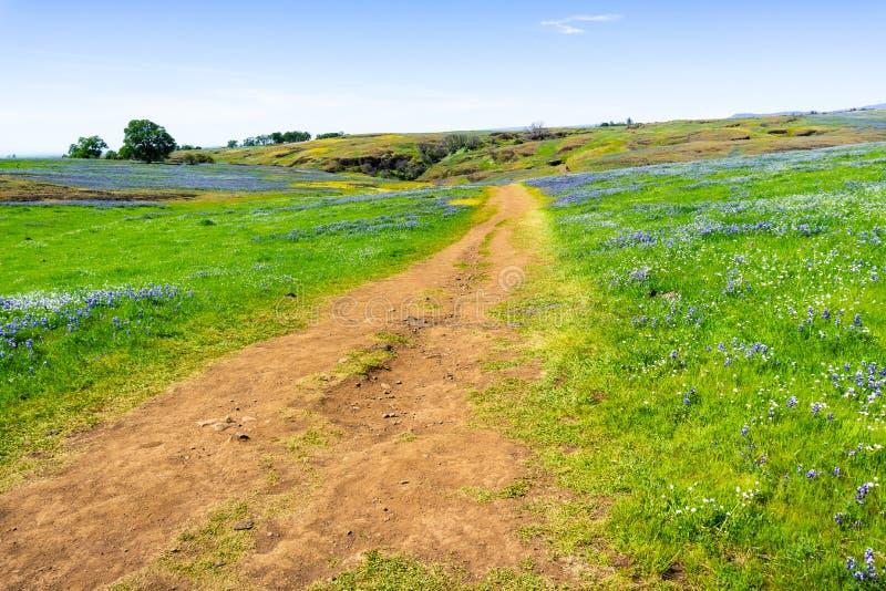 Chodz?cy ?lad przez poly zakrywaj?cych w wildflowers, p??nocy Sto?owa Ekologiczna rezerwa, Oroville, Kalifornia zdjęcie stock