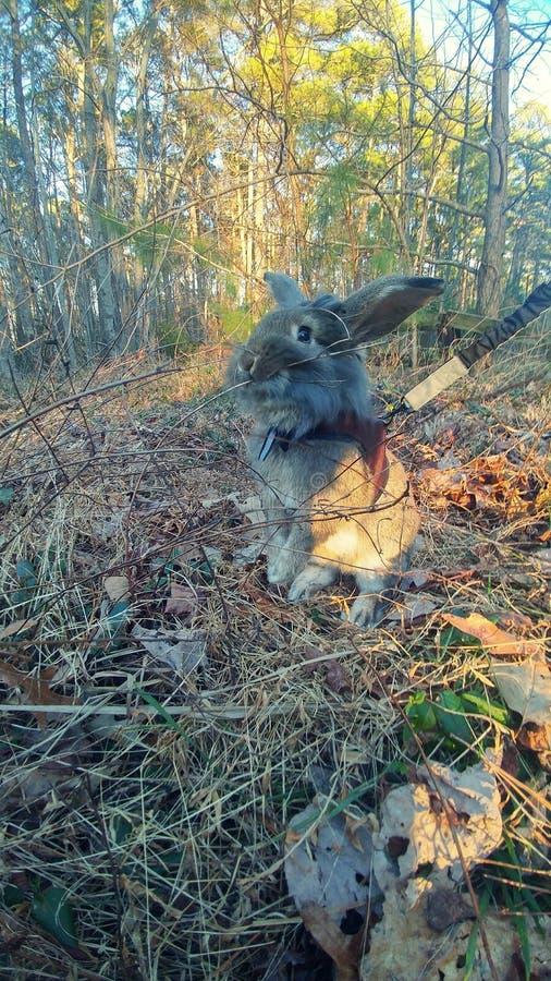 Chodzić królika obrazy stock