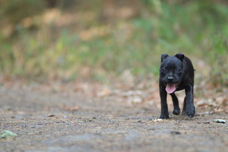 Chodzić Staffordshire Bull terrier psa obraz stock