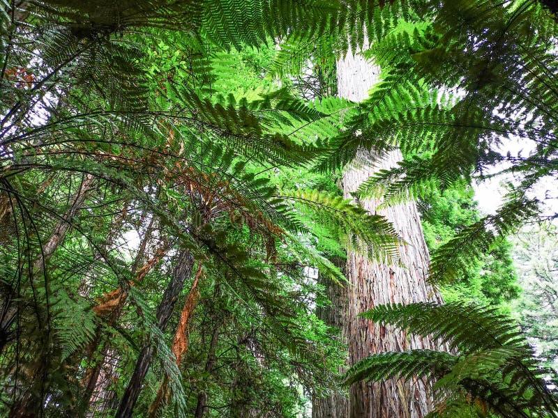 Chodzi? w Redwoods Whakarewarewa Rotorua nowe Zelandii zdjęcie royalty free