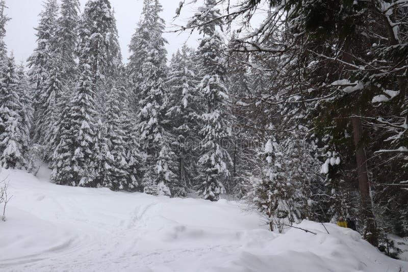 Choinki w śniegu Wysokość w górach 2 obraz stock