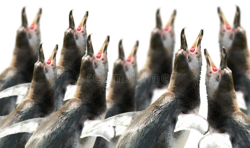 Choir of penguins royalty free stock images