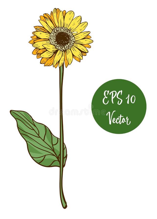 Choisissez l'illustration jaune de vecteur de fleur de marguerite, belle fleur sur la longue tige d'isolement sur le fond blanc illustration de vecteur