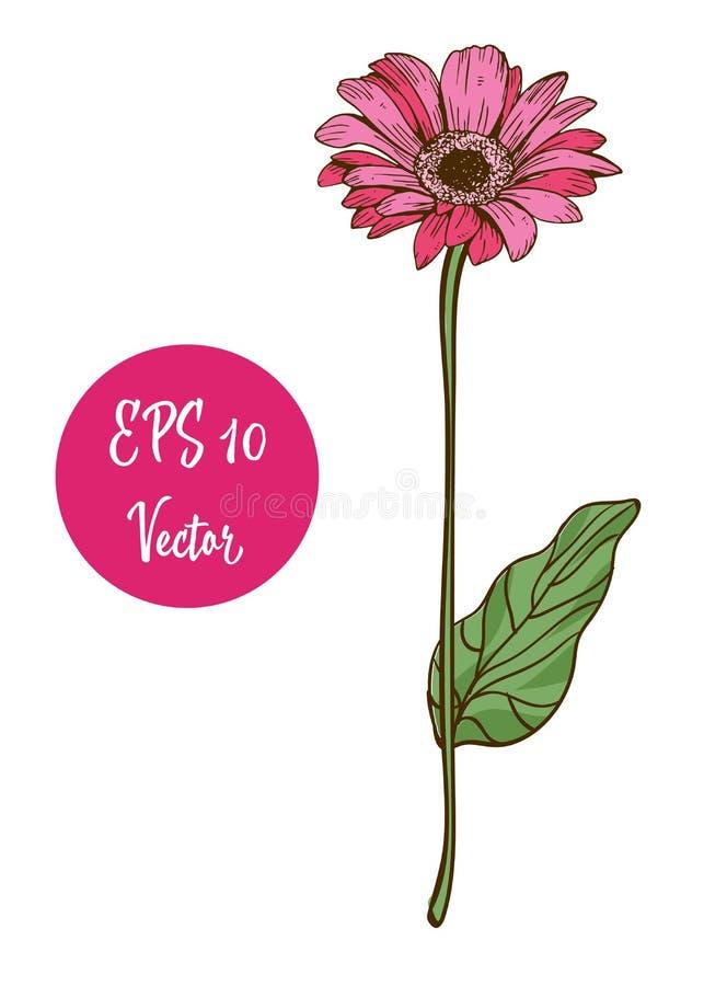 Choisissez l'illustration rose de vecteur de fleur de marguerite, belle fleur sur la longue tige d'isolement sur le fond blanc illustration de vecteur