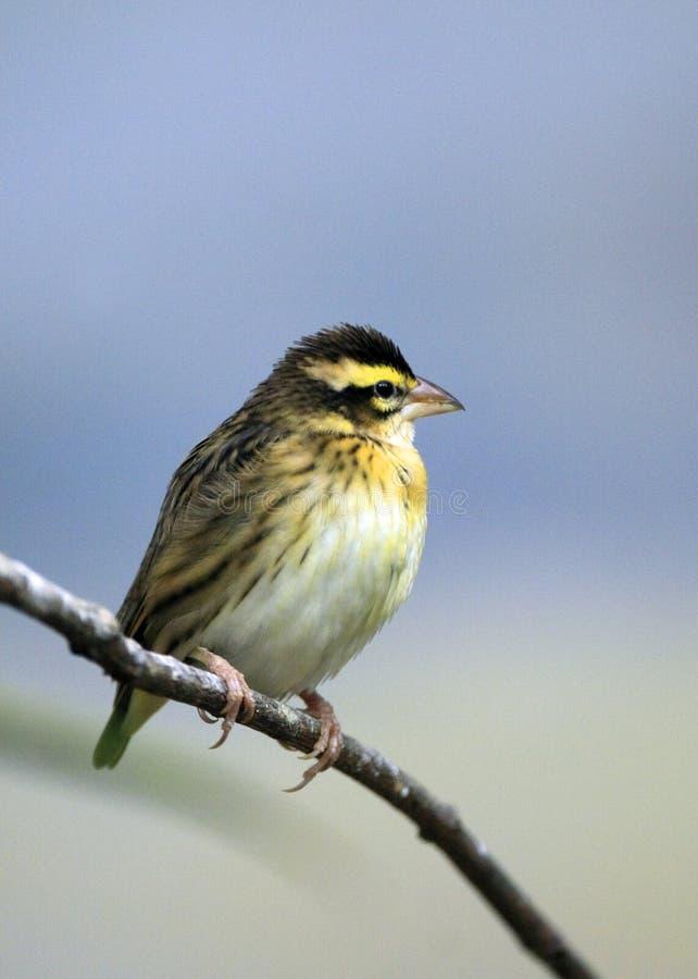 Choisissez l'oiseau jaune canari Jaune-affronté dans le jardin zoologique photos libres de droits