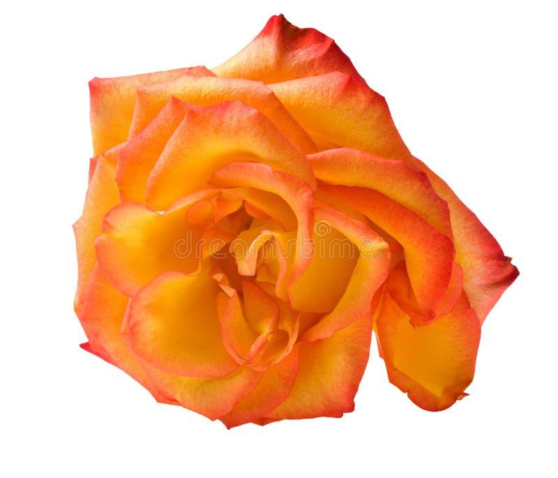 Choisissez l'orange d'isolement s'est levé photographie stock libre de droits