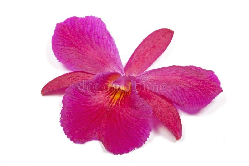 Choisissez l'orchidée mauve d'isolement avec le centre rayé jaune photographie stock libre de droits