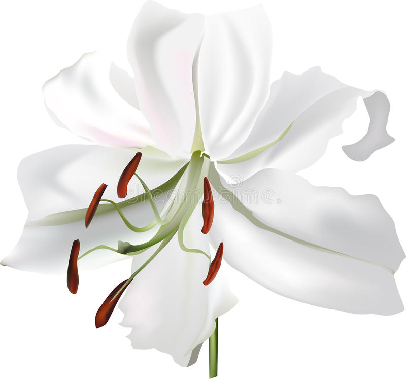 Choisissez la fleur d'isolement de lis blanc illustration libre de droits