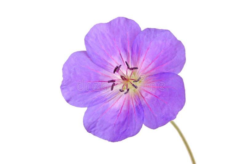 Choisissez la fleur d'un cultivar de géranium images libres de droits