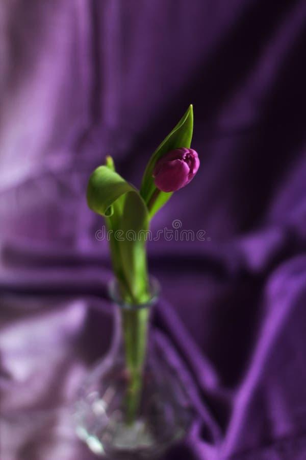 Choisissez la tulipe pourpre dans le vase en verre, foyer sélectif, fond pourpre, l'espace d'exemplaire gratuit photo libre de droits