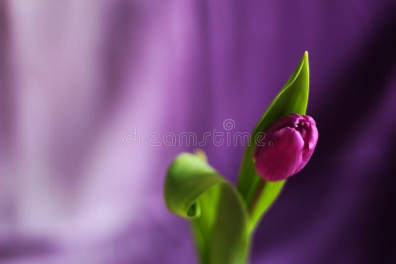 Choisissez la tulipe pourpre, foyer sélectif, fond pourpre, photo stock
