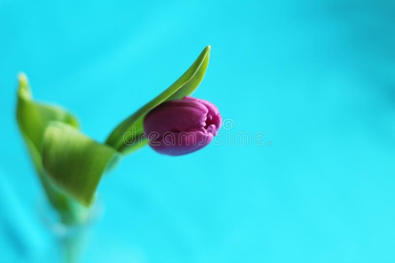 Choisissez la tulipe pourpre, foyer sélectif, fond bleu, l'espace de copie images libres de droits