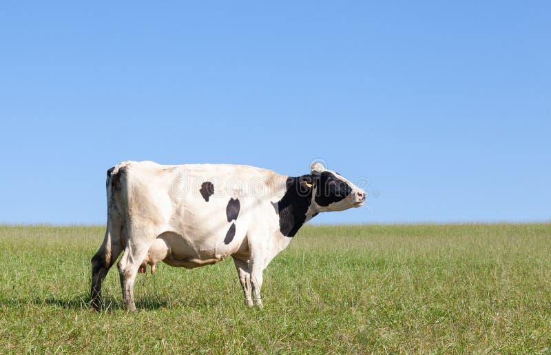 Choisissez la vache laitière noire et blanche du Holstein avec une pleine mamelle images stock
