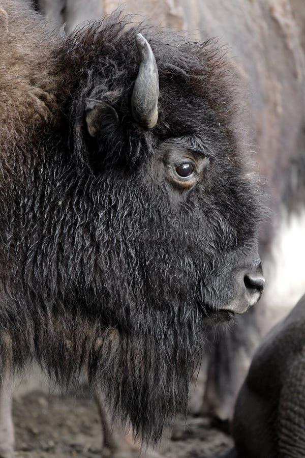 Choisissez le bison masculin cultivé dans le jardin zoologique images stock