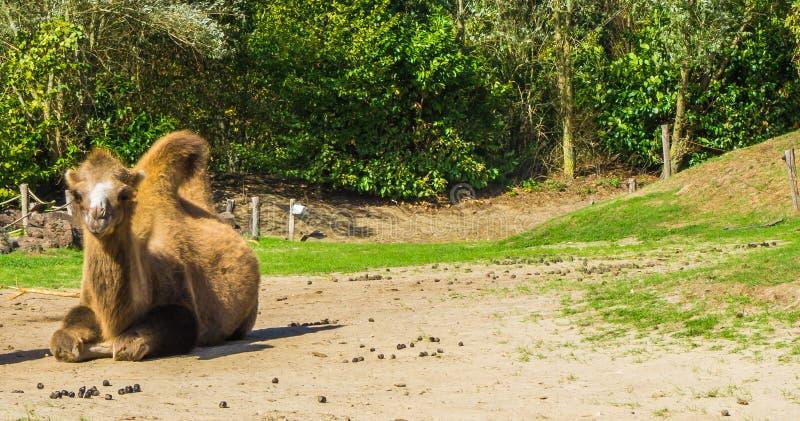 Choisissez le chameau brun avec de doubles bosses regardant dans le portrait d'animal d'appareil-photo images stock